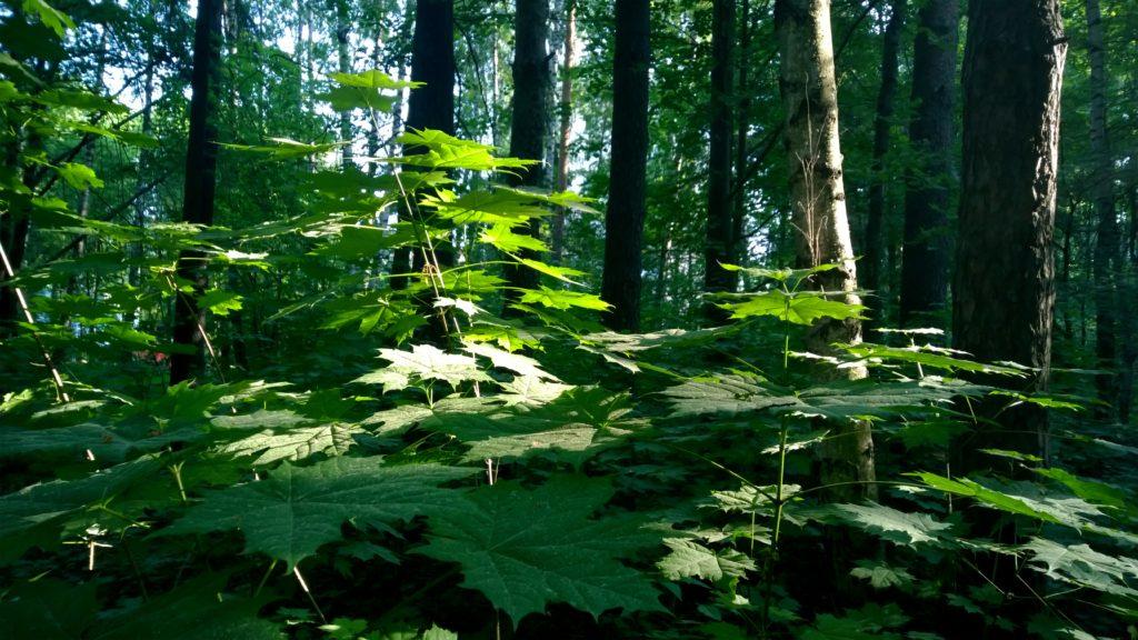 Листья в лесу. Lumia 1520