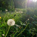 Трава и одуванчики. Lumia 1520